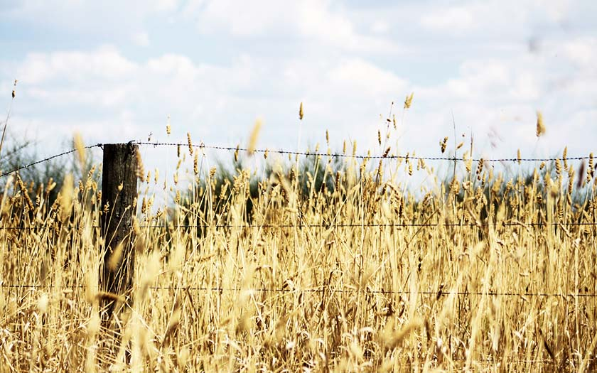 Barbwire fence with yellow wheat in the background