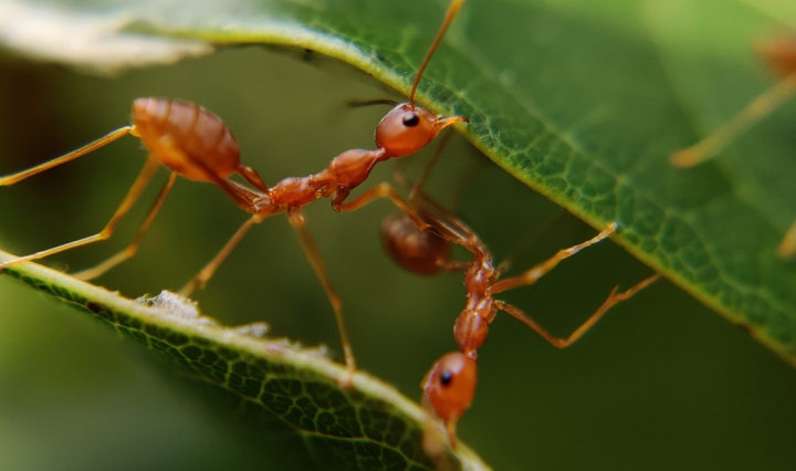 Close up of ants working together on a leaf